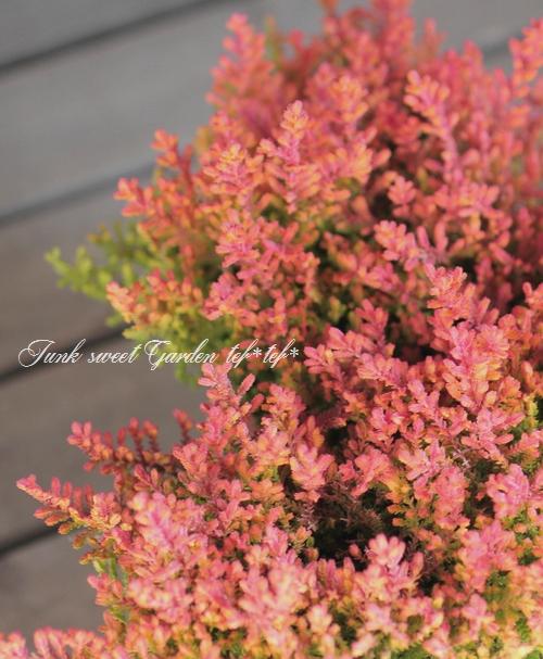 <i>Calluna vulgaris</i><BR><BR>カルーナ・ブルガリス<BR>『紅葉カルーナ』