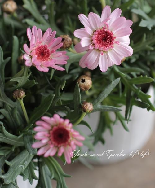 たんぽぽ咲きマーガレット 『ぽぽたん』 ピンク