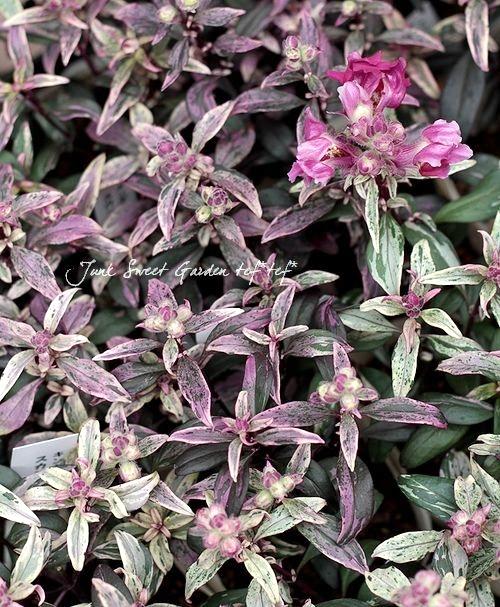 <i>Antirrhium majus</i><BR><BR>斑入りキンギョソウ<BR>『スカンピードラゴン』