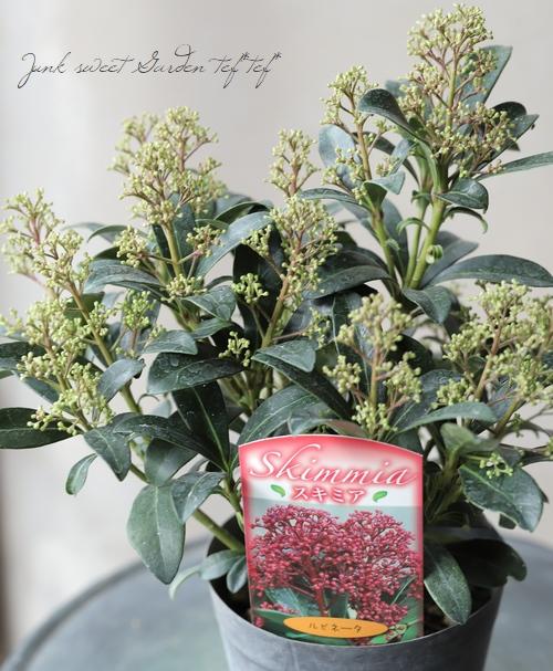 耐寒性常緑低木 スキミア 『ルビネータ』