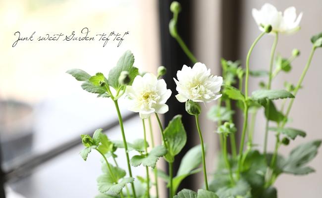 秋明菊 『ホワイトフリル』シュウメイギク