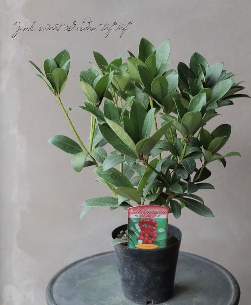 耐寒性常緑低木 スキミア 『ベッチィー』