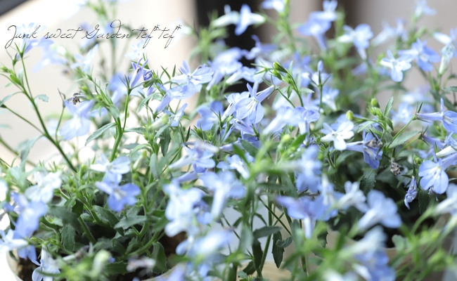 ロベリア 空色てふてふ 『青空ブルー』