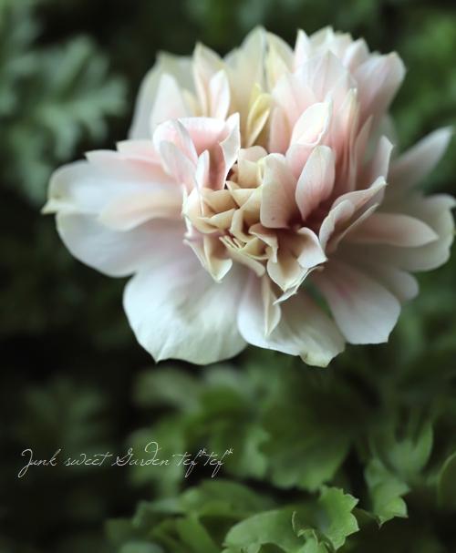 八重咲きアネモネ 『アンアリス』