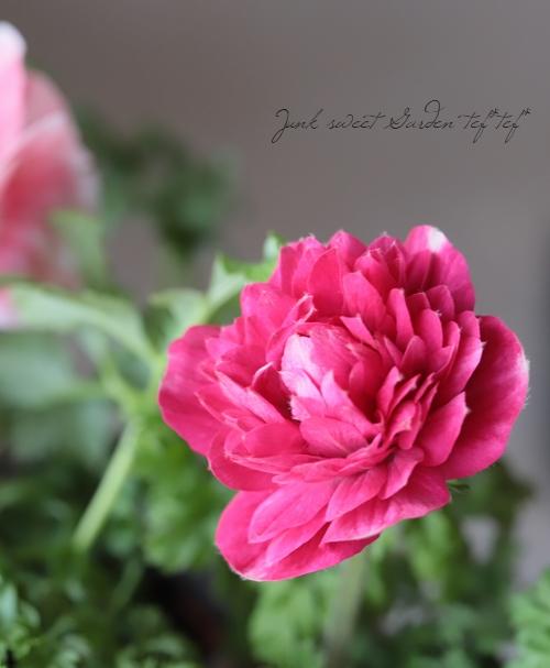 アネモネ 植えっぱなしOK! 『かわり咲き』 レッド