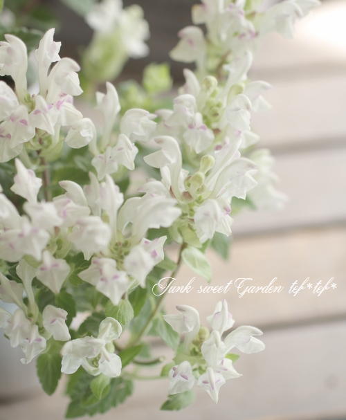 <i>Scutellaria alpina</i><BR>這性スクテラリア・アルピナ<BR>アルコバレーノ『ホワイトピンク』