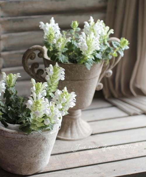 Scutellaria alpina<BR>スクテラリア・アルコバレノ<BR>和名・立浪草<BR>ホワイトブルー