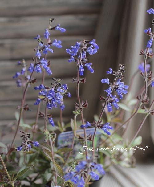 銅葉のサルビア・シナロエンシス 『コスミックブルー』