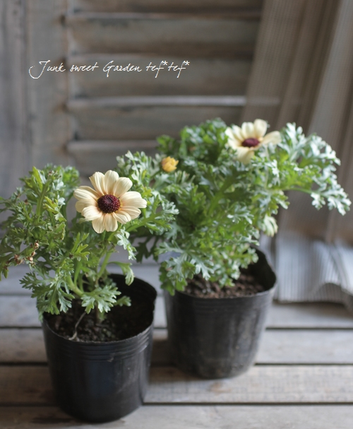 <i>Chrysanthemum frutescens</i><BR><BR>変わり咲きマーガレット<BR>『カナリアクイーン』