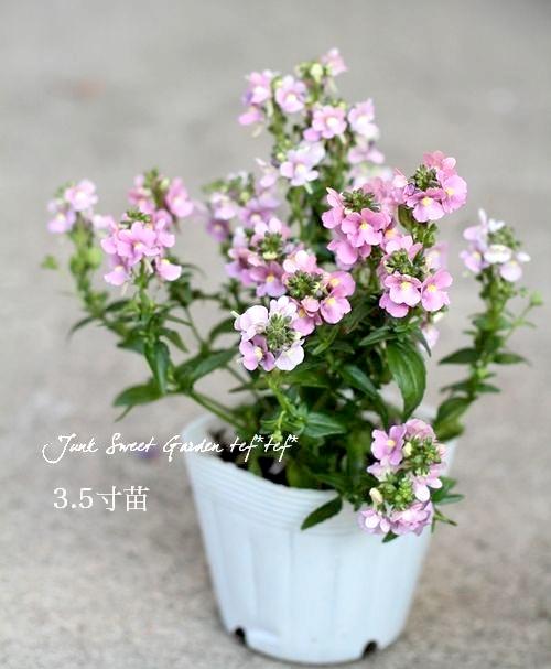 四季咲き性!宿根ネメシア  『アレンジ・ピンク』