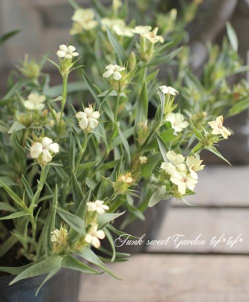 <i>Dianthus knappii</i><BR><BR>宿根ナデシコ<BR>ダイアンサス・ナッピー<BR>『イエローハーモニー』