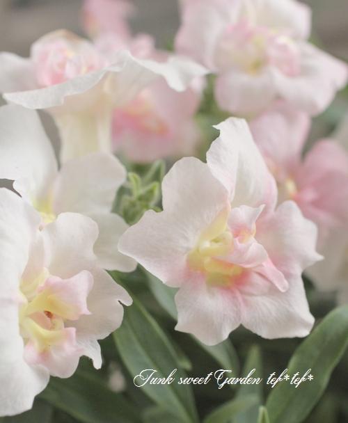 <i>Antirrhinum majus</i><BR><BR>八重咲きキンギョソウ<BR>トゥイニー 『アップルブロッサム』