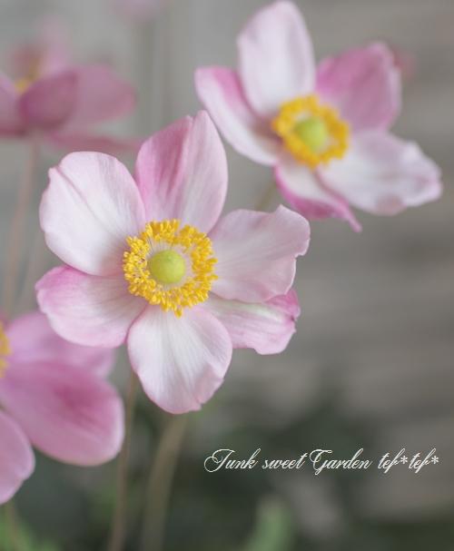 秋明菊 コンパクト品種 『チャボ』
