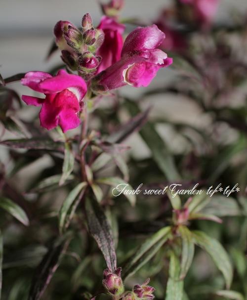 <i>Antirrhium majus</i><BR><BR>斑入りキンギョソウ<BR>『大人レッドピンク』