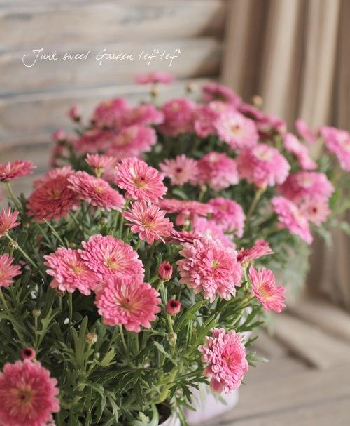 Argyranthemum frutescens<BR><BR>マーガレット・サマーソング<BR>『ディープローズ』