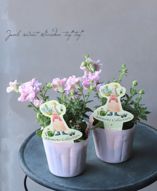 八重咲きペチュニア 『ベルファージュ』 ライラック
