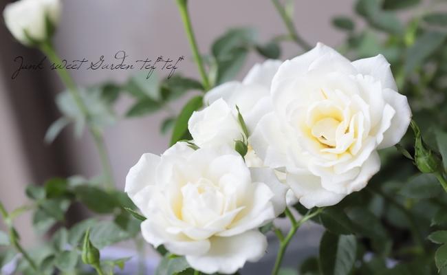 ミニバラ・オプティマチュチュ 『ホワイト』