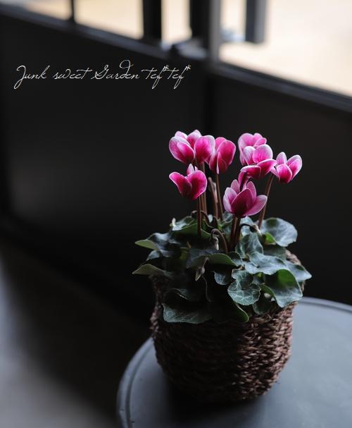 軽井沢育ちのガーデンミニシクラメン 『ゴブレット』 ワインレッド