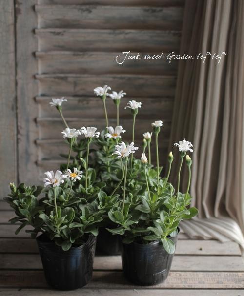 Felicia<BR><BR>宿根草!白花品種<BR>『ブルーデージー』