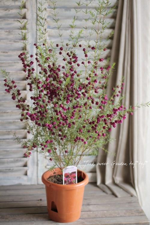 """<i>Boronia """"PurpleJared""""</i> <BR><BR>ワインカラー・ボロニア<BR>『パープルジェラード』"""