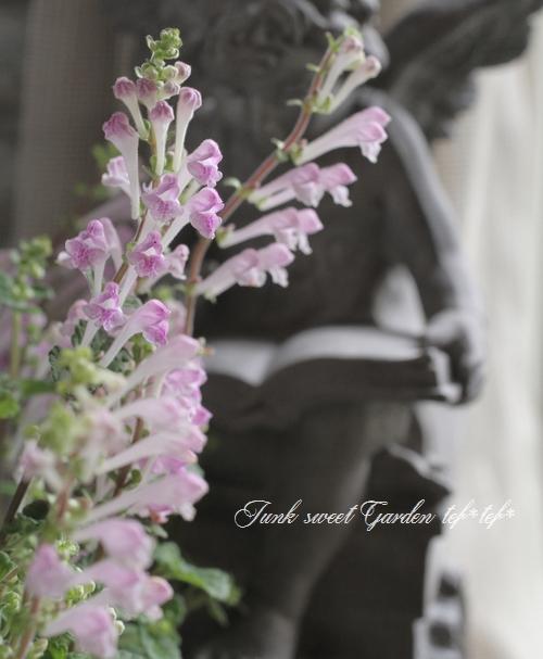 <i>Scutellaria indica</i><BR><BR><BR>スクテラリア<BR>和名・立浪草<BR>『パステルピンク』