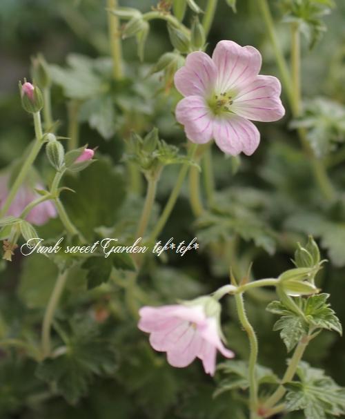 <i>Geranium Dreamland</i><BR><BR>ゲラニウム<BR>『ドリームランド』