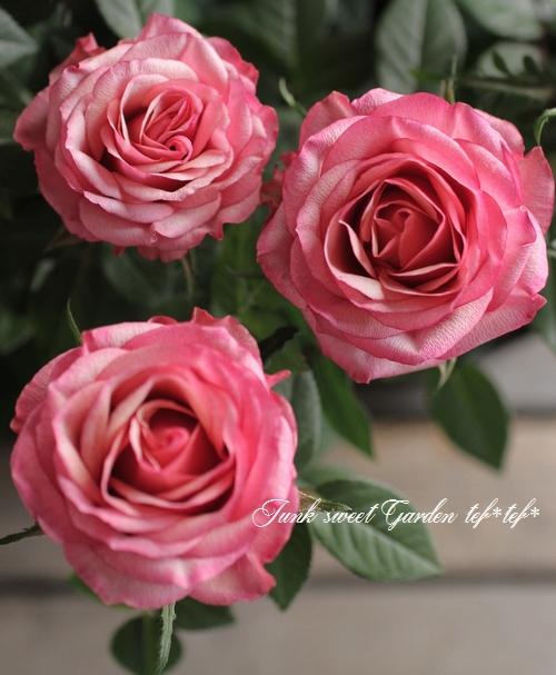 優しい甘い香りのミニバラ 『タマラ・コルダナ』 ピンク ★夏剪定済み