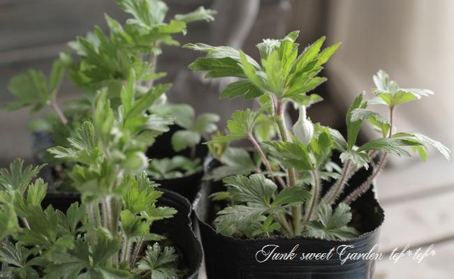 小型の原種アネモネ・シルベストリス『マドンナ』 『スノードロップ・アネモネ』