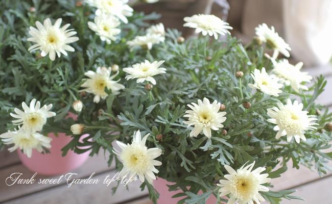 <i>Argyranthemum frutescens</i><BR><BR>ゲブラさんのマーガレット<BR>ノヴォシリーズ<BR>『ミルキーティアラ』