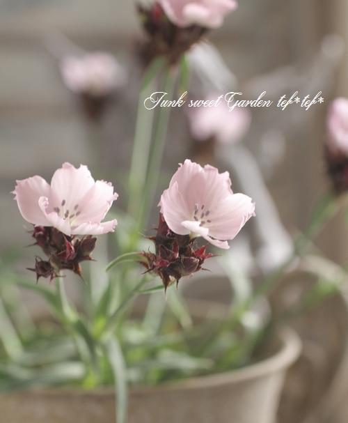 <i>Dianthus carthusianorum</i><BR><BR>宿根ナデシコ<BR>ダイアンサス<BR>『ルバーツピンク』