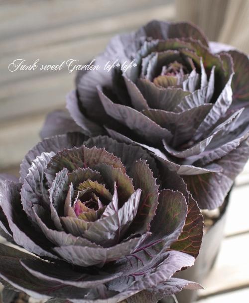 黒いカップ咲き葉牡丹!ブラックルシアン 『ベルサイユ』