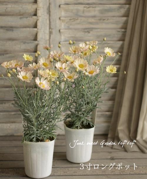 Argyranthemum frutescens<BR><BR>色変わりするマーガレット!<BR>高澤さんちの!『スプリングブーケ』