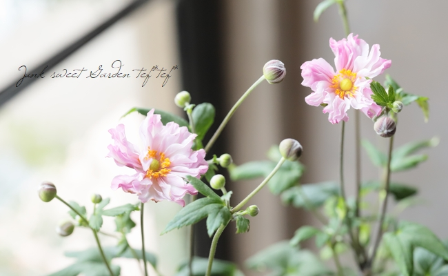 フリル八重咲き秋明菊  『祇園祭り-ギオンマツリ-』コンパクト品種