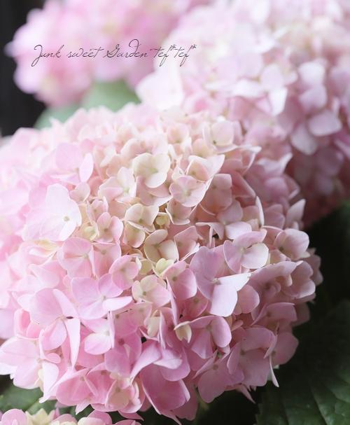 二季咲き紫陽花 『エンドレスサマー』ピンク