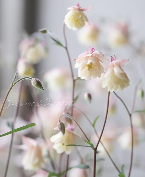 【花後価格】極小輪!八重風鈴オダマキ 『ベージュピンク』