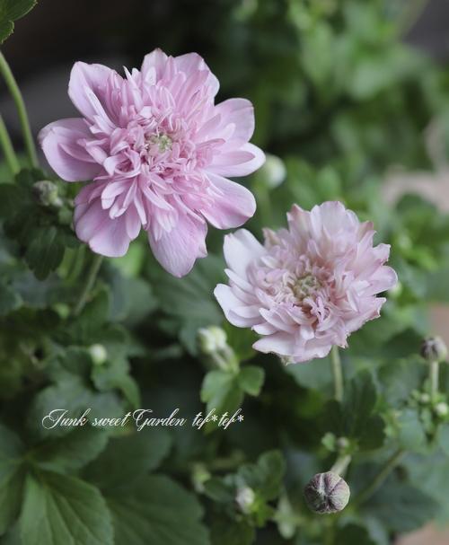 八重咲き秋明菊 『スモーキー八重ピンク』 シュウメイギク
