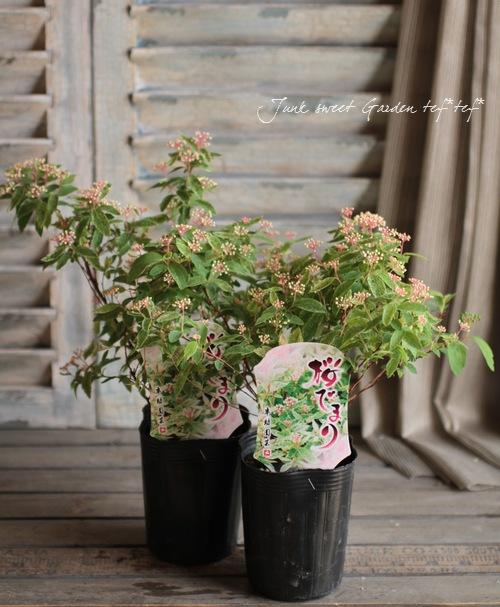 霜降り斑入りコデマリ 『ピンクアイス』 『桜でまり』