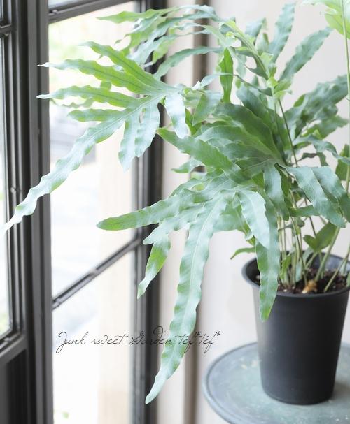 【観葉植物】 フレボディウム・オーレウム 『ブルースター』 ポリポジウム