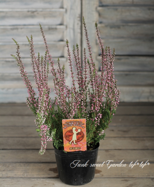 <i>Calluna vulgaris</i><BR><BR>カルーナ<BR>ガーデンガールズ<BR>『グリーン×薄ピンク花』 D