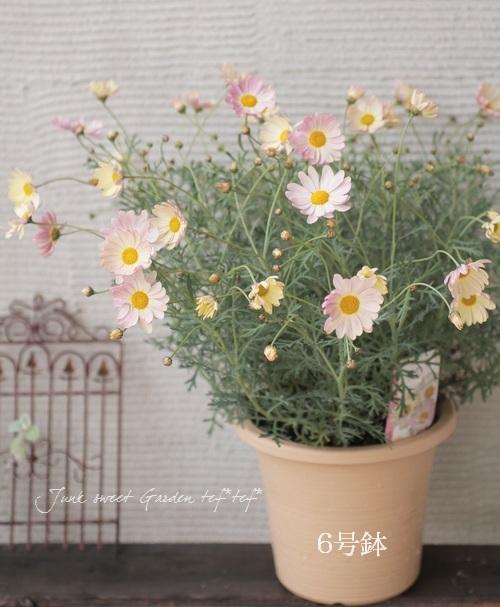 "<i>Argyranthemum frutescens ""Spring Bouquet""</i><BR><BR>色変わりするマーガレット!<BR>『スプリングブーケ』"