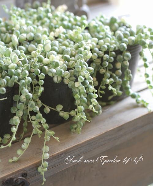 【多肉植物】 斑入り『グリーンネックレス』