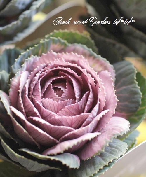 アンティーク葉牡丹 『萌花ショコラ -モカショコラ-』