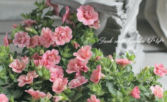 八重咲き!カリブラコア ティフォシーダブル 『ピーチイエロー』