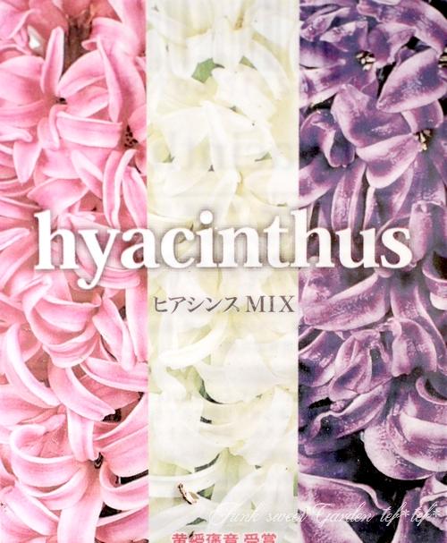 【芽だし球根】 『ヒヤシンス』 3色MIX植え