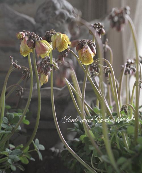 <i>Oxalis comosa</i><BR><BR>八重咲きオキザリス<BR>『心愛 -ここな-』