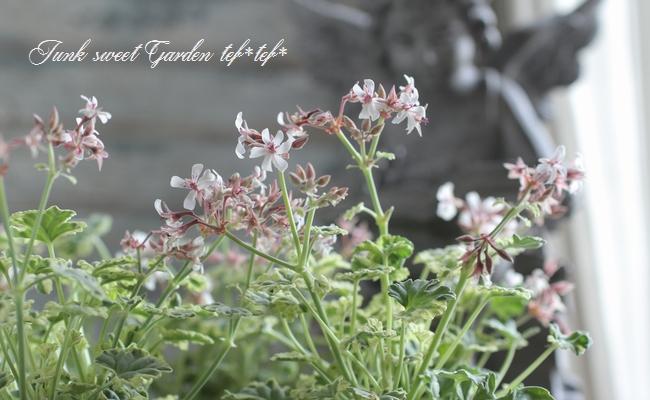 <i>Pelargonium×fragruns</i><BR><BR>宿根斑入り白花<BR>ナツメグゼラニウム<BR>『バリエガータ』