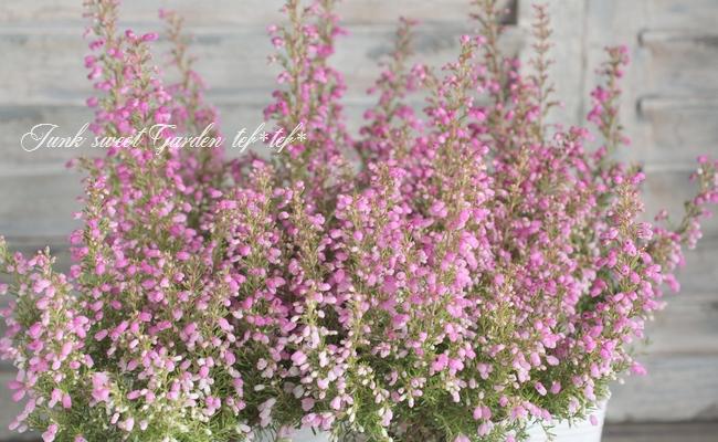 <i>Erica melanthera</i><BR><BR>エリカ ・メランセラ<BR>『ビリーブウインド』
