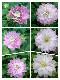 【花後価格】希少!八重咲きクレマチス 『ダンシングスマイル』 早咲き大輪系