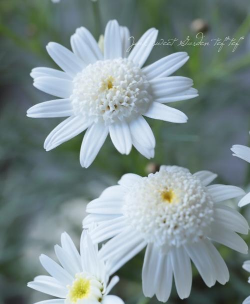 糸葉・八重咲きマーガレット 『ダブルチェルシーガール』