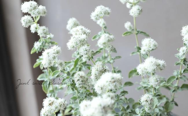 グリークオレガノ 『カリテラ』 白花